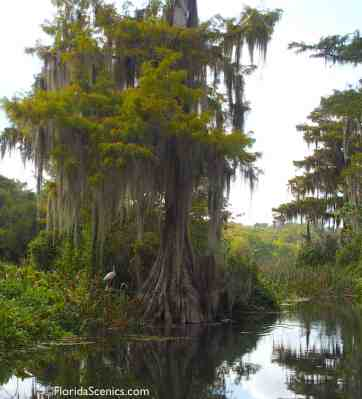 Cypress trees on the river