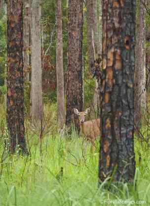 Deer peeks through the pines