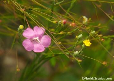False Foxglove wildflower