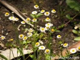 Fleabane blooms along trail
