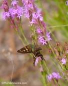 Long Tailed Skipper on Liatris Wildflower