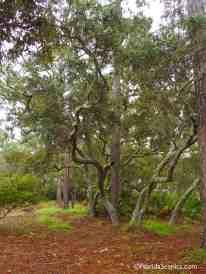 Oaks along the trail