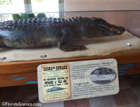 Old Joe the Alligator