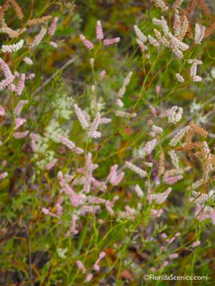 Sandhill Wireweed flowers