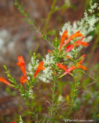 Scarlet Calamint Flowers