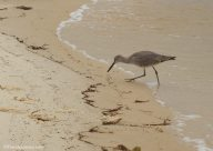 Willet fishing