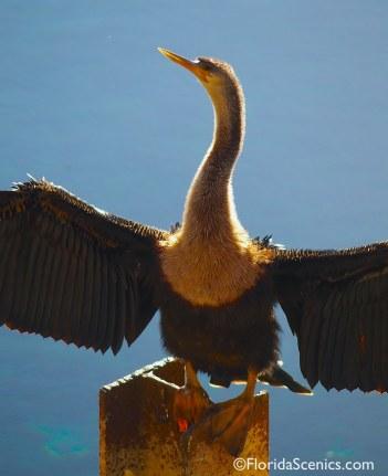 Anhinga Wings in the sun