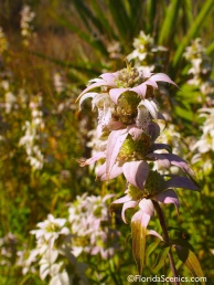 Dotted Horsemint - my favorite native wildflower