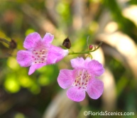 False Foxglove Wildflower