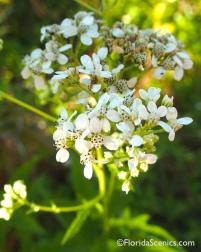 Frostweed blooms