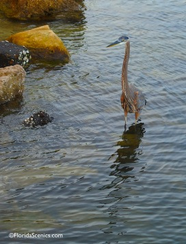 Heron fishes the rocks