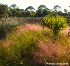 Muhly Grass glowing in the sun