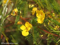 Partridge Pea blossoms