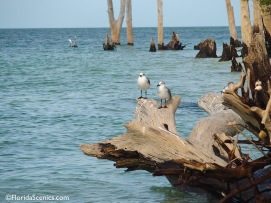Seagulls on the stumps