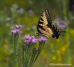 Tiger swallowtail on Florida Paintbrush wildflower