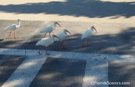 These Ibis reminded me of the Beatles (crossing Abbey Road!)