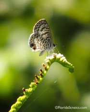Cassius Blue Butterfly on Scorpion Tail flowers