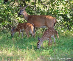 Deer with twins