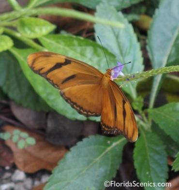 Female Julia Butterfly