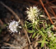 Fragrant Eringium