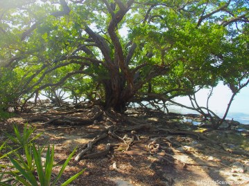 Ancient Buttonwood tree