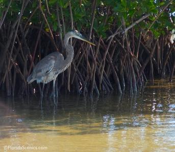 Heron hides in the mangrove