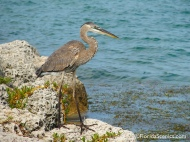 Young Great Blue Heron fishing from the rocks