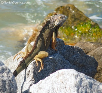 Iguana enjoying the rocky beach!