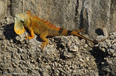 Iguana on the wall