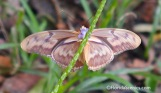 Underside of female Julia butterfly