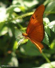 Male Julia buttefly