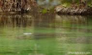 Manatees in the spring run