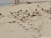 Sandpipers run on the beach