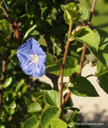 Endangered Sky-blue Clustervine
