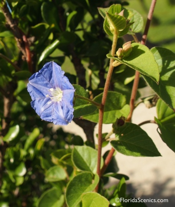 Endangered Sky-blue Clustervine