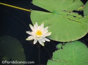 Pretty lilies on the small lake