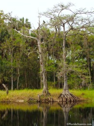 Cypress on Fisheating Creek