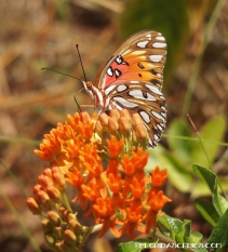Gulf Fritillary on Butterfly Milkweed