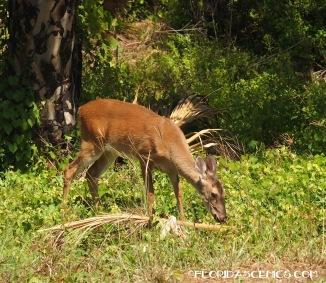 Deer on St. Joseph Island