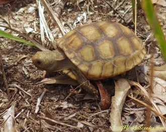 A baby gopher tortoise. He was only about the size of a tennis ball.