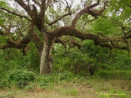 Great old Oak