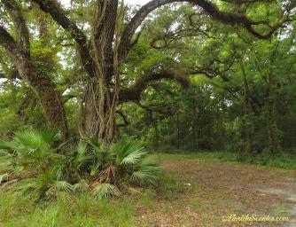 Oak canopy trail