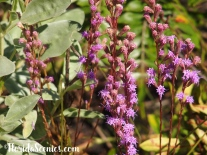 Liatris - Blazing Star